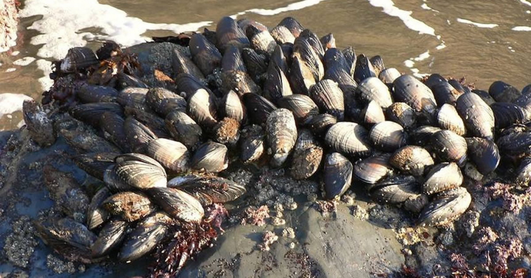 Hãi hùng hiện tượng nghêu sò ốc hến chết hàng loạt do bị 'luộc chín' trên bờ biển Bắc California