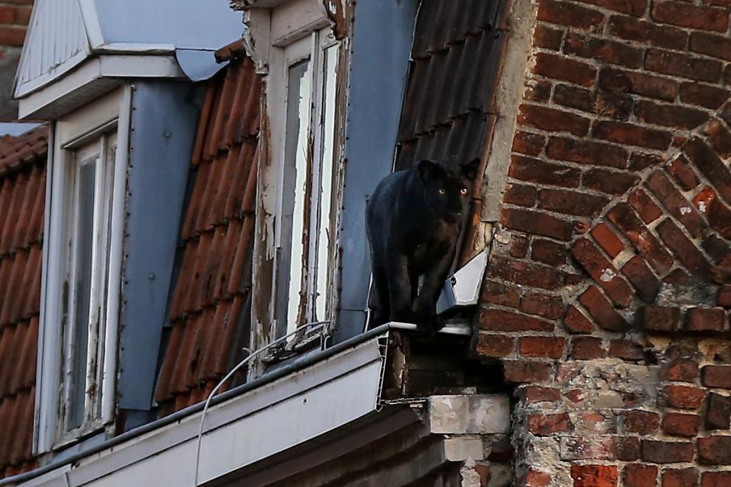Báo đen hồn nhiên đi dạo trên nóc nhà xung quanh thị trấn nước Pháp