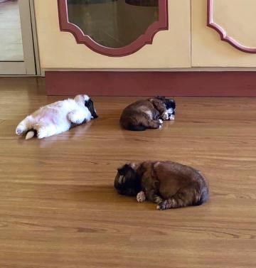 Chú chó nổi tiếng gần xa nhờ tướng ngủ 'bán bụng cho trời' ai thấy cũng cưng