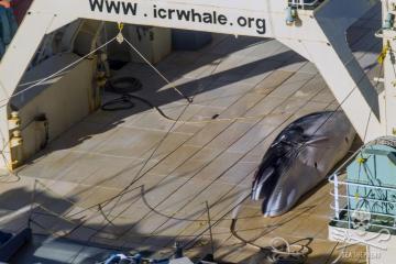 Bản chất của sự dối trá trong 'truyền thống' ăn thịt cá voi của người Nhật?