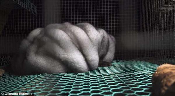 Cáo nuôi để lấy lông làm áo: Béo phì, mù mắt và bị nhốt chung lồng với xác chó