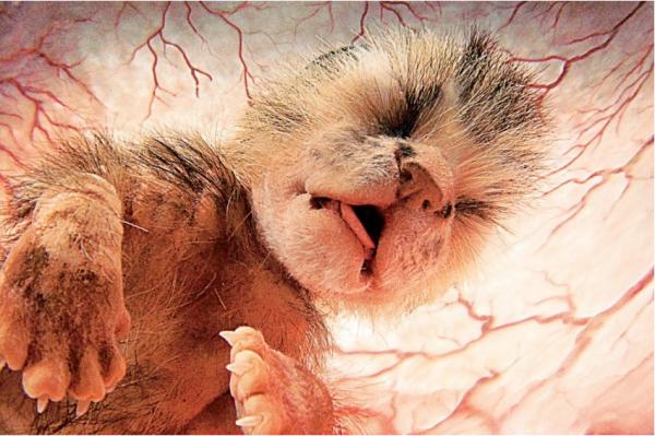 Mở mang tầm mắt với 13 hình ảnh đáng yêu của bào thai động vật trong bụng mẹ