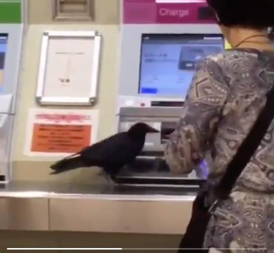 Muốn đi chơi nhưng không có tiền, chú quạ ranh ma cướp thẻ tín dụng người qua đường để mua vé tàu