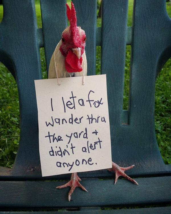 'Bảng thú tội' muôn hình vạn trạng của lũ gà mà bạn không thể nào tưởng tượng nổi
