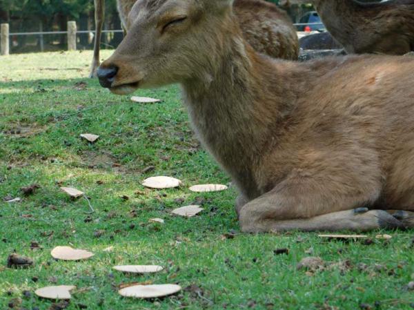 Hươu ở công viên Nara (Nhật) không còn thiết ăn uống vì khách tham quan quá đông