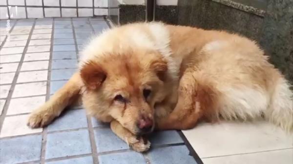 'Chó Hachiko phiên bản Trung Quốc' mỗi ngày dành 12 tiếng nằm ở nhà ga đợi chủ đi làm về