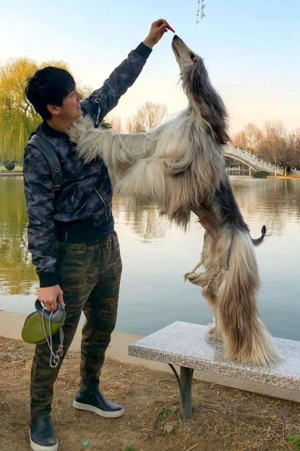 Chủ nhân chi hàng trăm triệu đồng để chó cưng có bộ lông mượt mà như tóc người