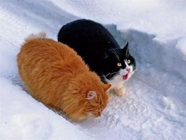 Béo ú na ú nần thế này, các 'boss' mèo vẫn có thể làm tim 'sen' tan chảy