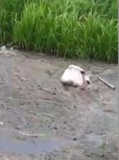Chú thiên nga tuyệt vọng cứu bạn khỏi chết đuối giữa đầm lầy rác thải