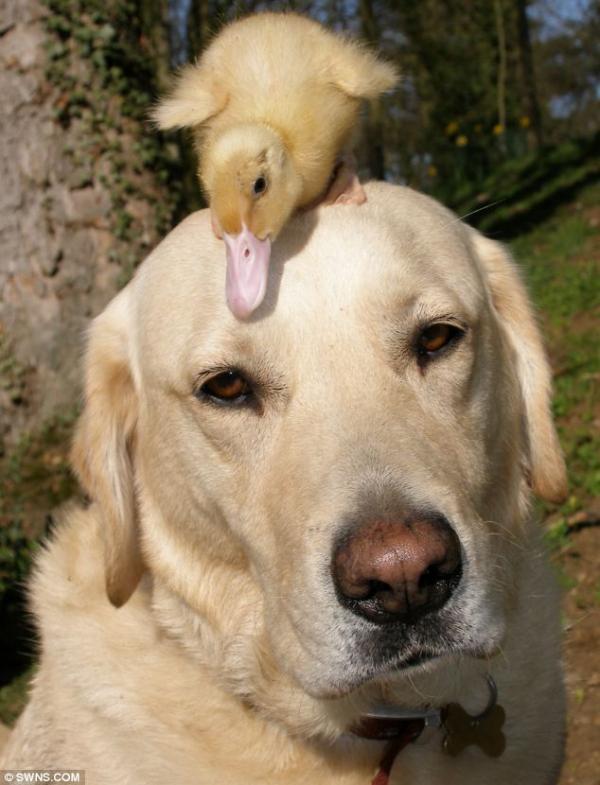 Chú chó tốt bụng nhận làm vú em của đàn vịt con mất mẹ
