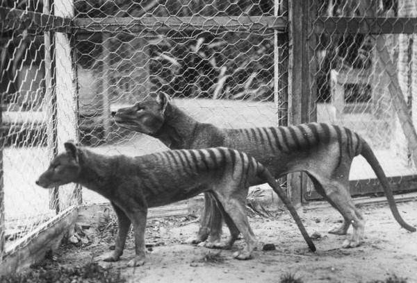 Sinh vật bí ẩn xuất hiện tại Úc dấy lên tin đồn Hổ Tasmania tuyệt chủng đã 'tái sinh'?