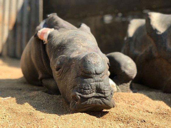 Hai chú tê giác mồ côi mẹ tự an ủi bằng cách hôn nhau
