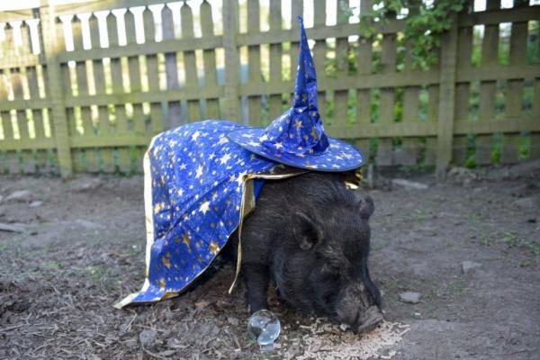 Chú lợn Mystic Marcus - 'nhà tiên tri' mới đầy hứa hẹn của World Cup năm 2018