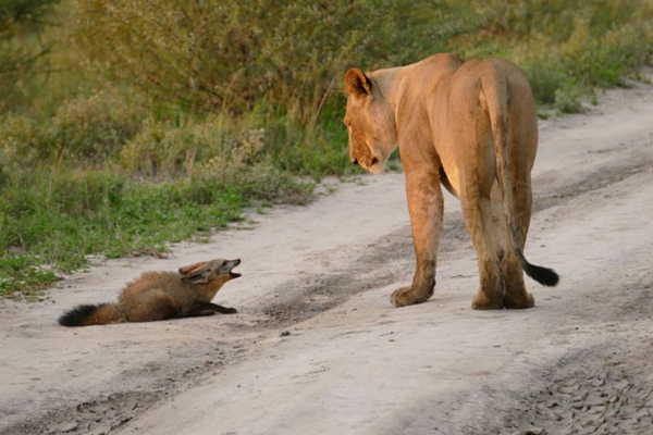 Tình mẫu tử trỗi dậy, sư tử cái chống trả cả đàn để bảo vệ chú cáo nhỏ bị thương