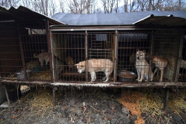 Tòa án Hàn Quốc chính thức ra phán quyết giết thịt loài chó là hành vi bất hợp pháp