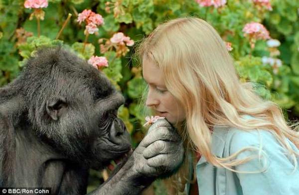 Koko, chú khỉ đột nổi tiếng nhất thế giới có thể 'trò chuyện' với con người đã qua đời ở tuổi 46