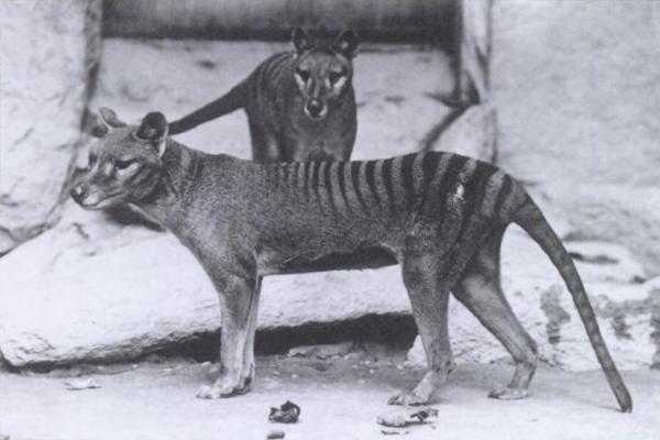 25 loài động vật đã tuyệt chủng mà các nhà khoa học muốn dùng cỗ máy thời gian đưa trở lại