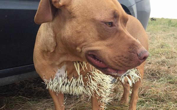 Vừa hài vừa thương cái kết của những chú chó muốn kết bạn với loài nhím nguy hiểm