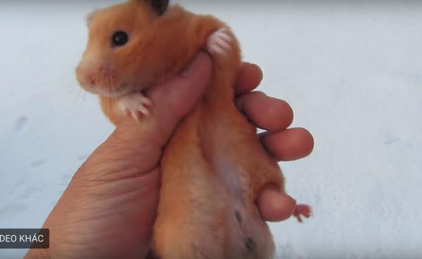 Hành vi ngược đãi chuột hamster trong tuyết khiến dân mạng Nhật Bản tức giận