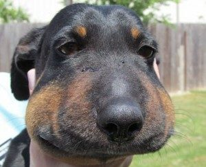 Cảm động chú chó nhỏ bị rắn cắn sưng vù cả đầu vì muốn bảo vệ chủ nhân
