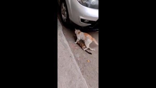 Dù người bạn đã chết, chú mèo nhỏ vẫn dùng hết sức để tha xác bạn vào nơi an toàn