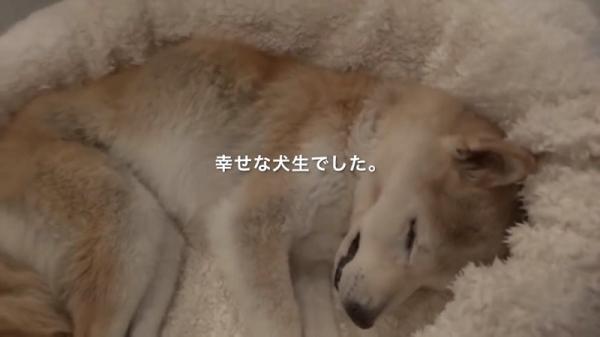 Cảm động cảnh chú chó Shiba nở nụ cười ấm áp nhìn chủ lần cuối trước khi qua đời