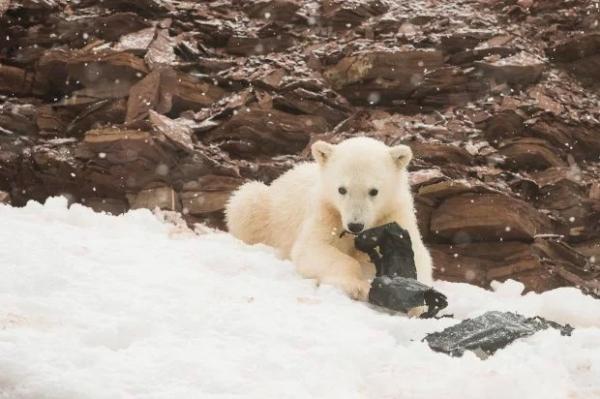 Hai chú gấu Bắc Cực nhai rác nhựa báo động ô nhiễm môi trường đã đi rất xa