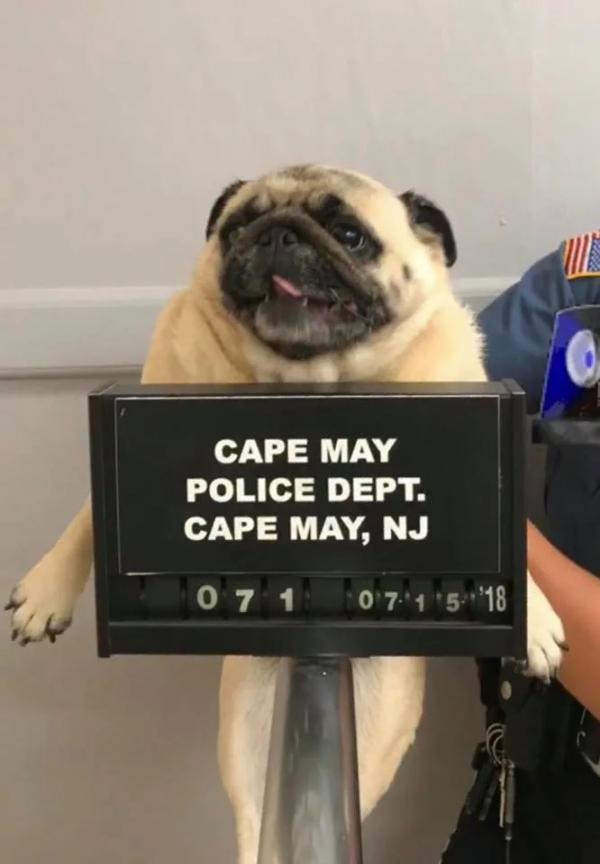 Chó Pug bỏ nhà đi bị cảnh sát bắt về đồn tạm giam và chụp ảnh phạm nhân