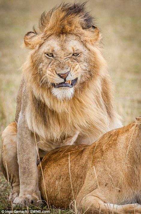 Biểu cảm khó đỡ của sư tử khi bị bắt quả tang đang 'vui tới bến' với bạn tình
