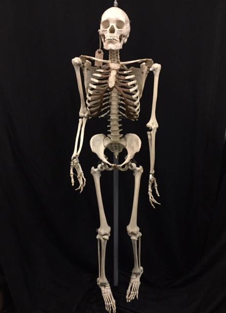 Những bộ xương người trong phòng thí nghiệm là thật hay giả?