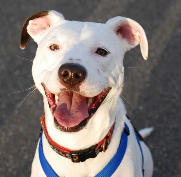 Chó Pitbull thân thiện muốn tìm người chơi cùng, ai ngờ khiến nhân viên cửa hàng phát hoảng