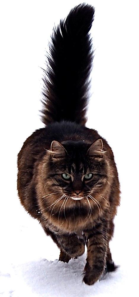 17 chú mèo dòng Maine Coon đẹp chẳng khác gì sinh vật trong truyện cổ tích