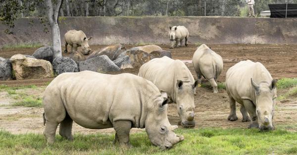 Tê giác trắng có nguy cơ tuyệt chủng phải diễn xiếc mua vui ở Nga