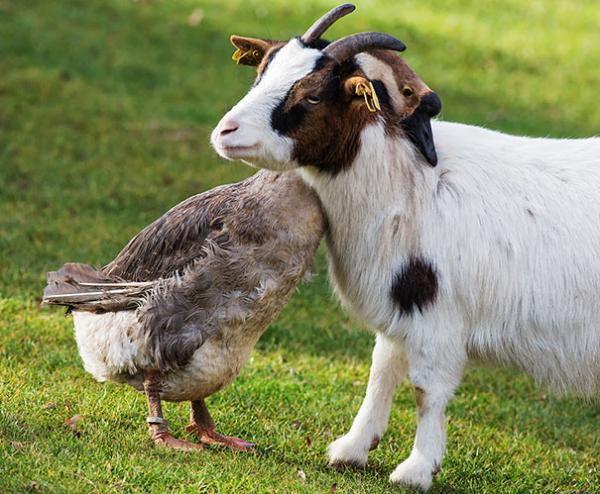 30 sự thật thú vị về động vật: Lợn chỉ giận dỗi trong 30 phút, chuột sẽ cười khi bị cù
