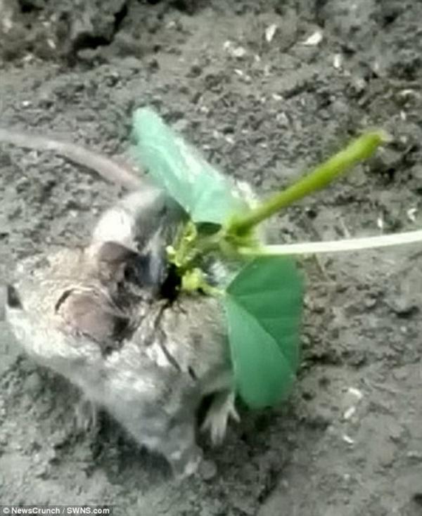 Chú chuột 'cosplay' Pokémon với cả một cây đậu nành mọc trên lưng