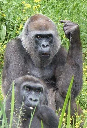 Chú khỉ gorilla 'hư đốn' giơ ngón tay thối vào giữa vào mặt khách thăm quan