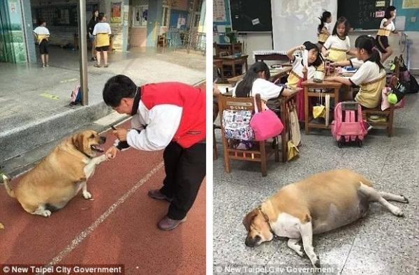 Chú chó bảo vệ béo ú vì được yêu thương quá nhiều, trường phải cấm học sinh thôi cho chú ăn quà vặt