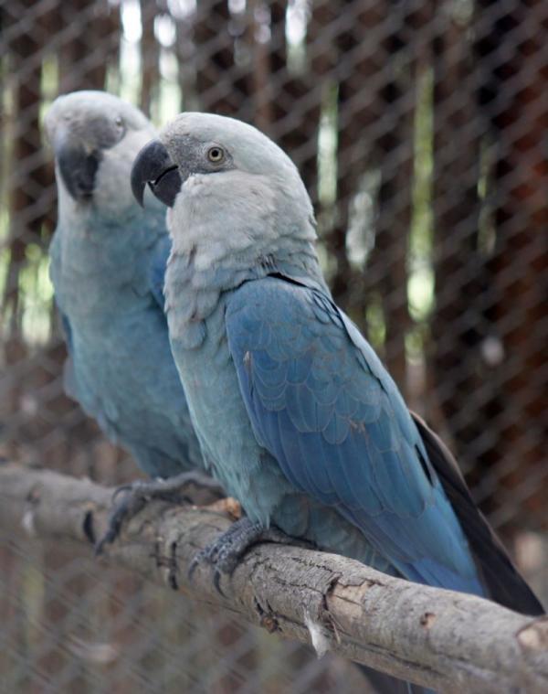 Vẹt xanh đuôi dài của loạt phim hoạt hình 'Rio' chính thức tuyệt chủng