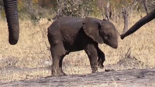 Chú voi con buồn bã vì mất đi chiếc vòi là hình ảnh đau lòng nhất chúng ta nhìn thấy ngày hôm nay
