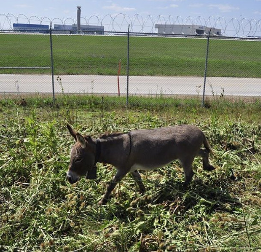 Vật cũng như người, ai cũng có việc làm: Khỉ hái dừa, lừa dọn cỏ ở sân bay...