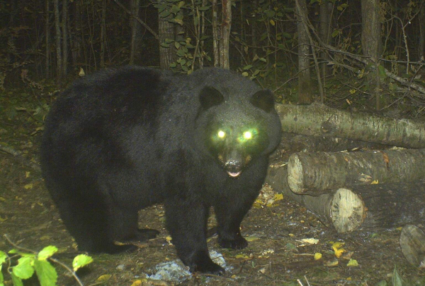 Hàng loạt động vật ban ngày chuyển sang sống đêm vì tác động của con người?