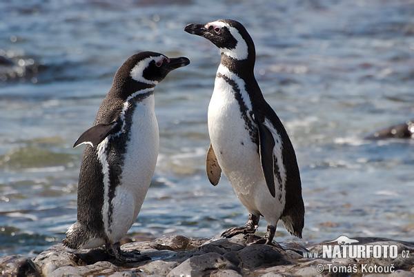 Chim cánh cụt đực bàng hoàng phát hiện vợ ngoại tình khi vắng nhà và cái kết 'não lòng'