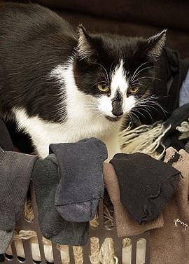 Không ít lần con người phạm tội rồi đổ thừa là bị... loài mèo giật dây