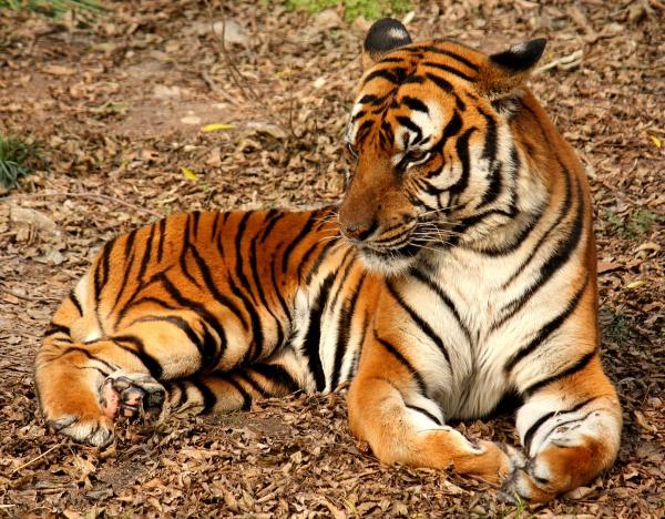 Ấn Độ tranh cãi vì phán quyết 'giết không tha' con hổ bị tình nghi ăn thịt 13 người