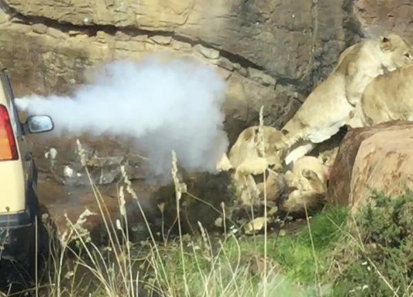 Không còn khả năng làm đầu đàn, sư tử đực bị con cái cắn xé suýt chết