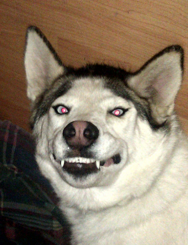 Husky - Giống loài hay tỏ vẻ ngầu và nguy hiểm nhưng thực chất là 'thiên hạ đệ nhất ngơ'