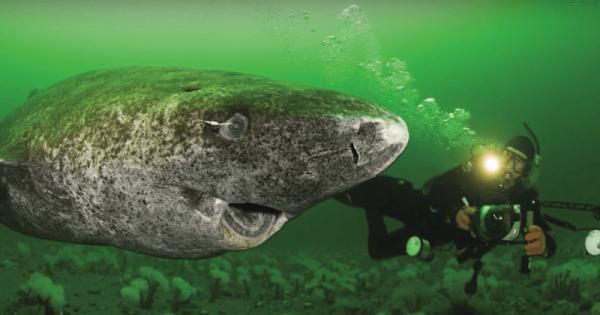 'Cụ cá mập 400 tuổi' ở Bắc Cực phá vỡ mọi kỉ lục về tuổi thọ của các loài động vật có xương sống