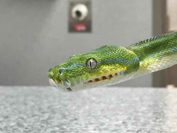 Hài hước chuyện chị rắn hậu đậu phải đi niềng răng vì tham ăn làm gãy cả xương hàm