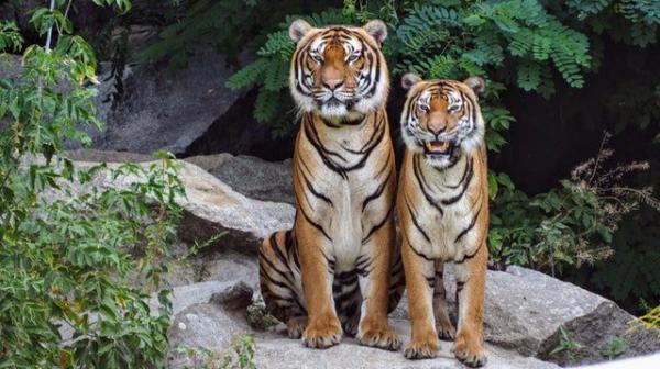 Tin vui cho team yêu động vật: Số lượng cá thể hổ đã tăng gấp đôi ở Nepal trong 9 năm qua