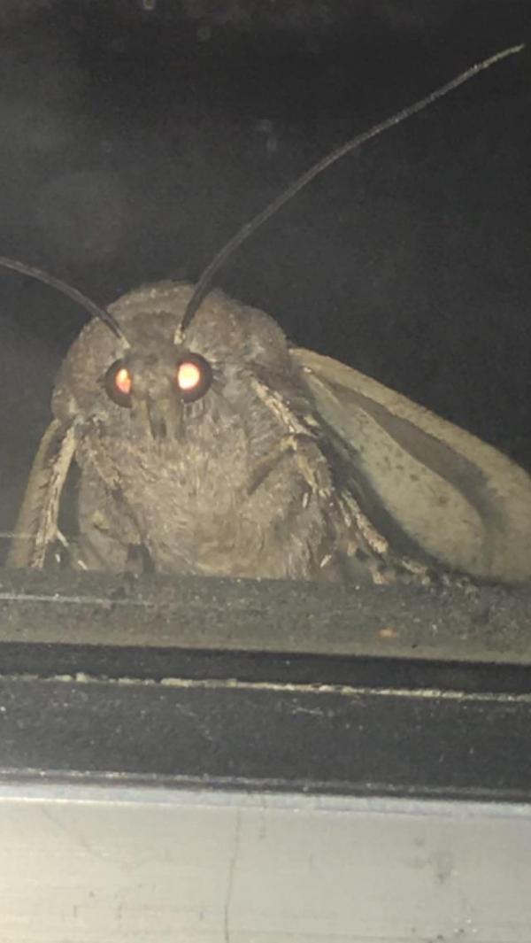 Moth meme: Cơn ác mộng 'dễ thương' và 'dễ sợ' đến từ loài sâu bướm